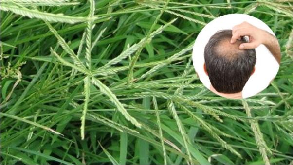 Cách kích thích mọc tóc bằng cỏ mần trầu